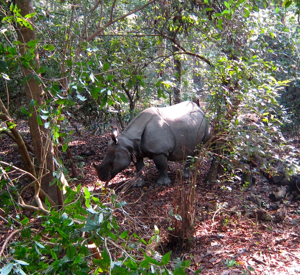 Rhinos in Chitwan National Park