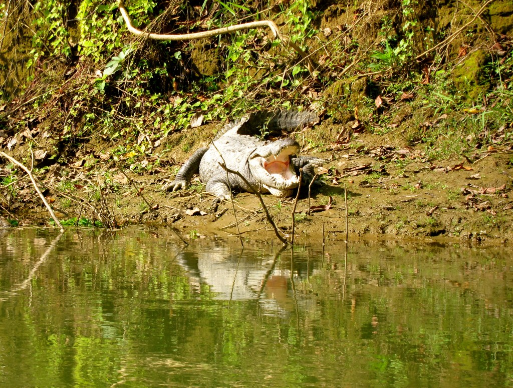 Crocodiles in Chitwan National Park