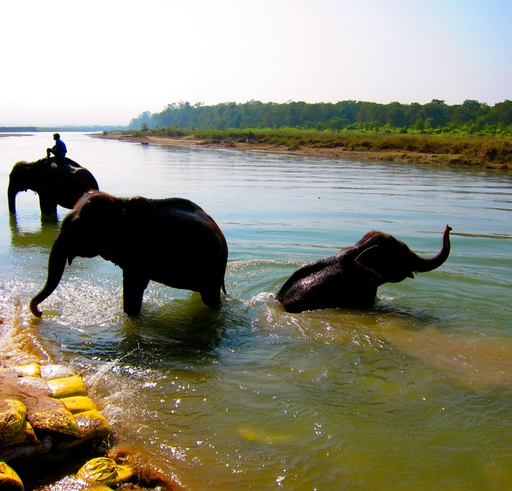 Elephant Bathing in Chitwan National Park...