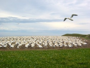Free things to do in New Zealand - Gannets